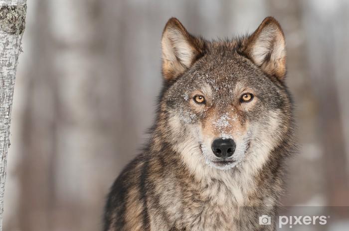 Fototapeta winylowa Szary Wilk (Canis lupus) Portret - Tematy