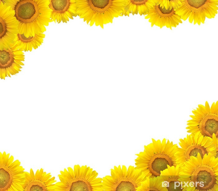 Sunflower Border Isolated On White Wall Mural Pixers