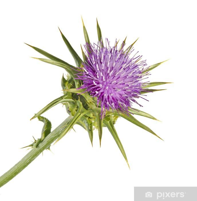 Fototapeta winylowa Kwitnienie Spear Thistle (Cirsium vulgare) - Kwiaty