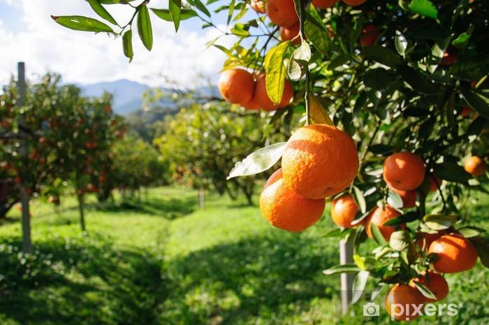 Vinyl Fotobehang Sinaasappelboom - Vruchten