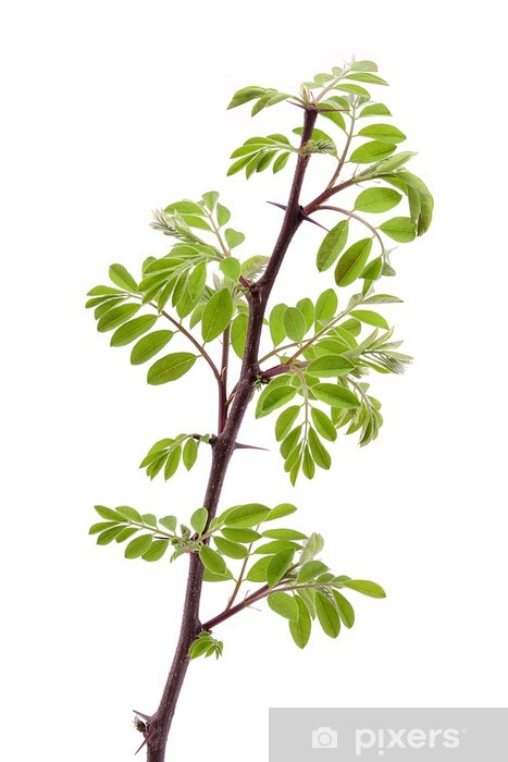 Young Acacia Leaves Isolated On A White Background Wall Mural