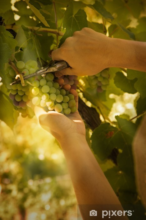 Naklejka Pixerstick Zbiory winogron - Pory roku