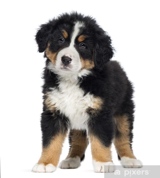 c442829f7d2 Fototapeta vinylová Bernský salašnický pes štěně