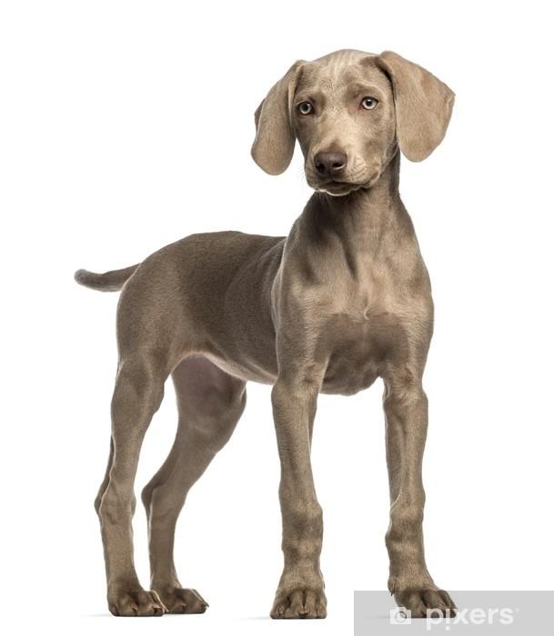 Weimaraner Puppy 2 5 Months Old