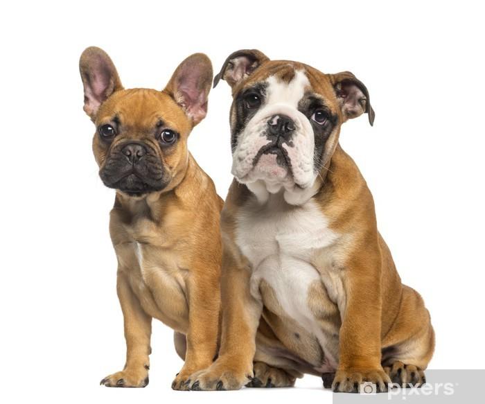 English Bulldog puppy and French Bulldog puppies, sitting Sticker -  Pixerstick