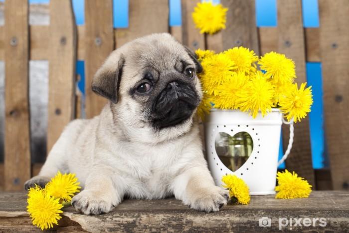 pug puppy and spring dandelions flowers Vinyl Wall Mural - Pugs
