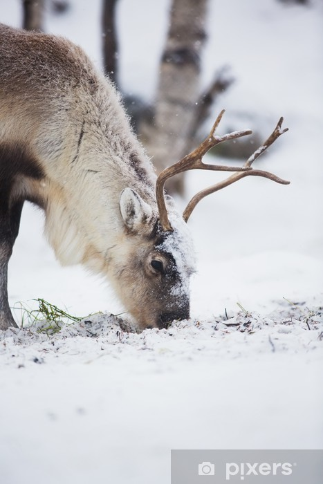 Fotomural Estándar Reno comen hierba en un bosque de invierno - Temas