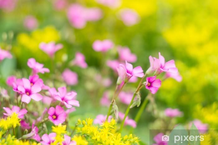 Fototapeta winylowa Oxalis kwitnienie - Kwiaty