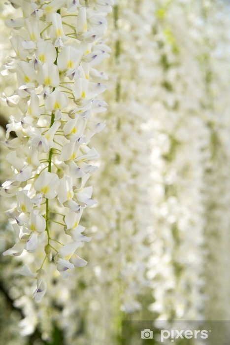 Flowers White Wisteria Wall Mural Pixers We Live To Change