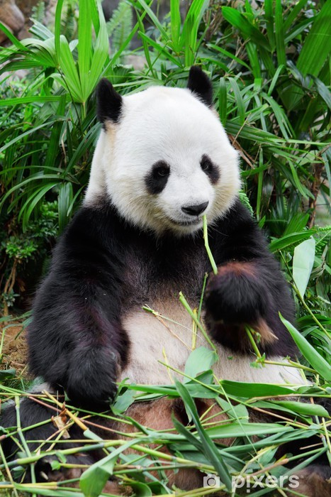 Fotomural Estándar Wild panda - iStaging