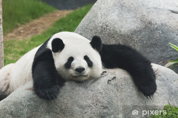 Vinil Duvar Resmi Panda -