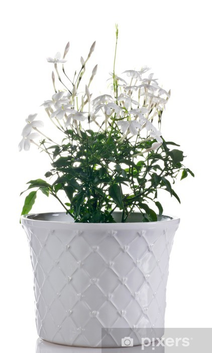 fototapete jasmin pflanze im topf pixers wir leben. Black Bedroom Furniture Sets. Home Design Ideas