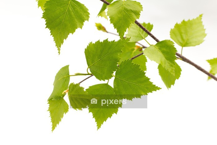 Birch leaves of the tree. Wall Decal - Trees and leaves