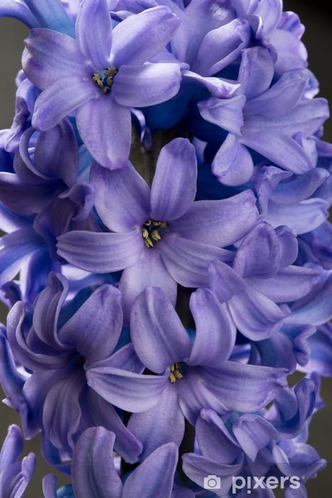 9d859860c9efe Fototapete Hyazinthe blau lila Blume Großansicht Makro auf schwarz