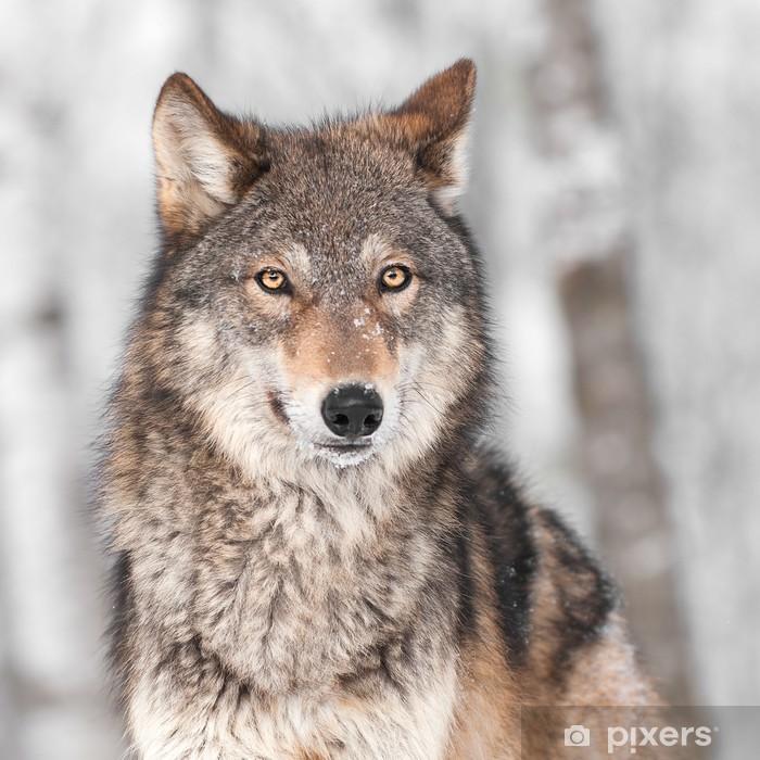 Papier peint vinyle Loup gris (Canis lupus) avec une oreille Retour -