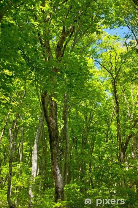Papier peint vinyle Forêt de bouleaux - Merveilles naturelles