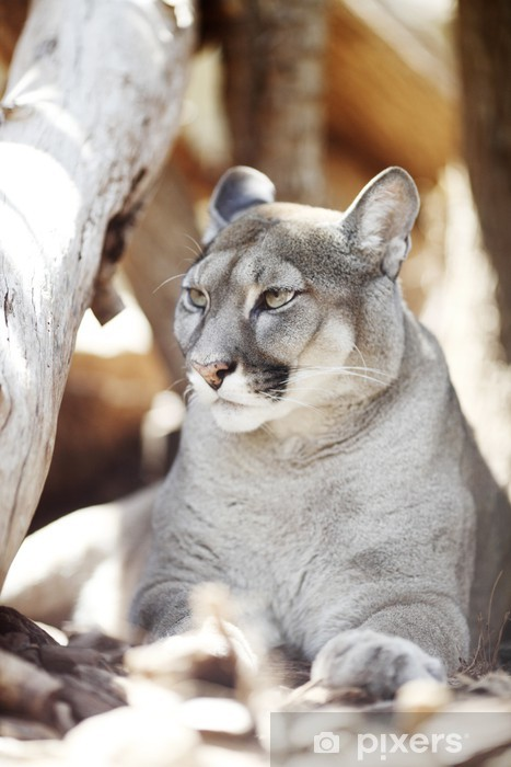 Nálepka Pixerstick Puma - Savci