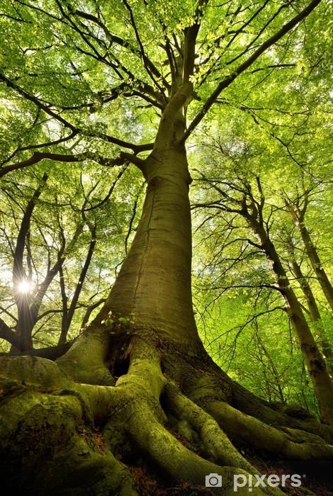 Fototapet av Vinyl Gammal Beech Tree -