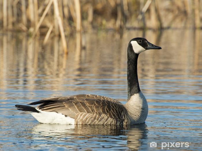 Papier peint vinyle Canada Goose - Oiseaux
