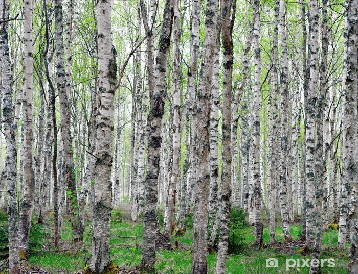 Background of birch trees Vinyl Wall Mural - Themes