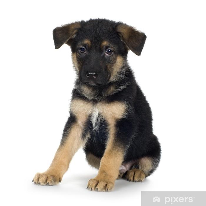 german shepherd (7 weeks)/ alsatian, police dog Poster - iStaging