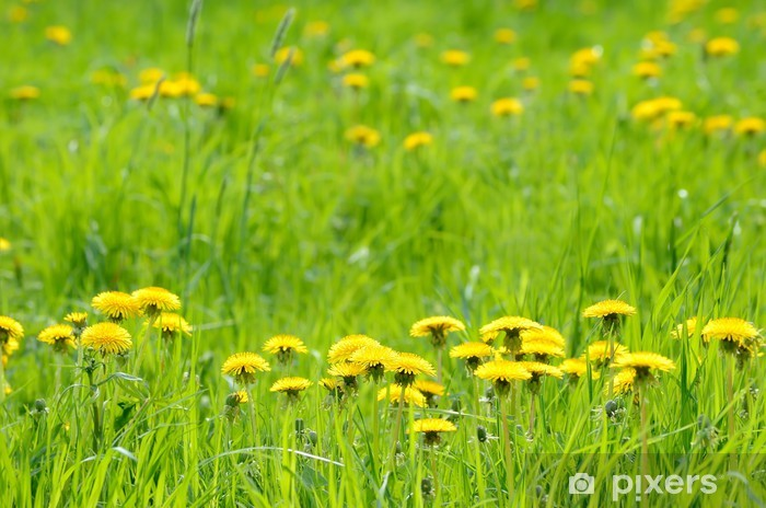 Carta Da Parati Prato Verde Con Giallo Tarassaco Pixers Viviamo