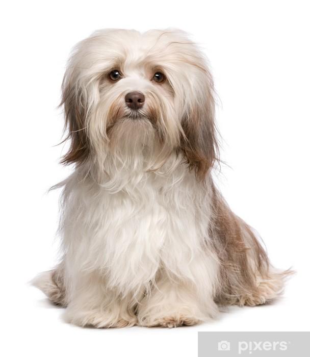 Fototapete Schöne Schokolade Havaneser Hund