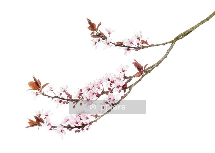 Japanese Cherry branch, isolated on white Wall Decal - Plants