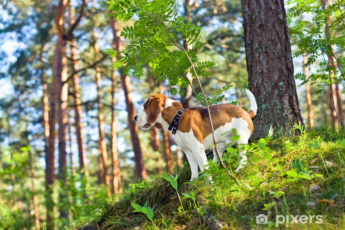 Vinyl Fotobehang Beagle in het bos - Zoogdieren