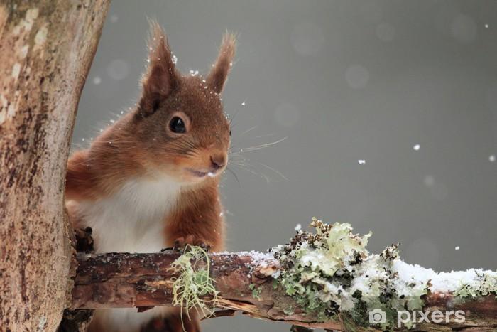 Sticker Pixerstick Red Squirrel (Sciurus vulgaris) dans Snow Falling - Mammifères