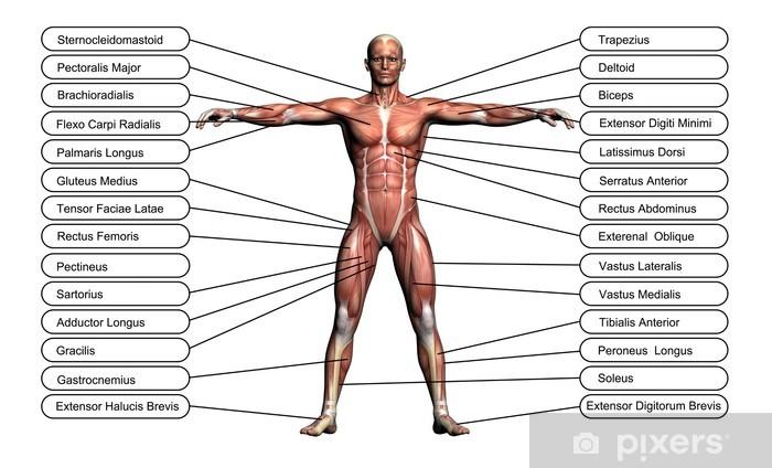 Ihminen Anatomia