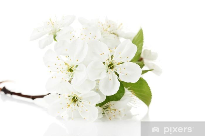 Fototapeta winylowa Piękny kwiat wiśni samodzielnie na białym tle - Kwiaty