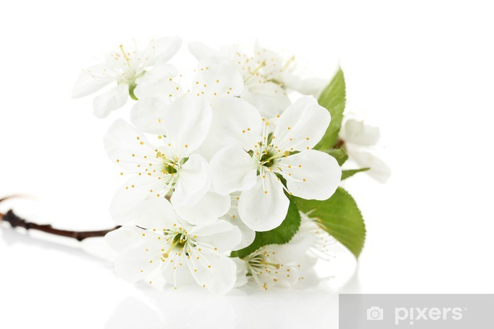 Beautiful cherry blossom isolated on white Vinyl Wall Mural - Flowers