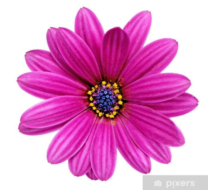 Gazania Tek çiçek Splendens Cinsi Asteraceae Isolated Duvar
