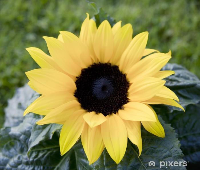 Plakat Słonecznik zbliżenie - Rolnictwo