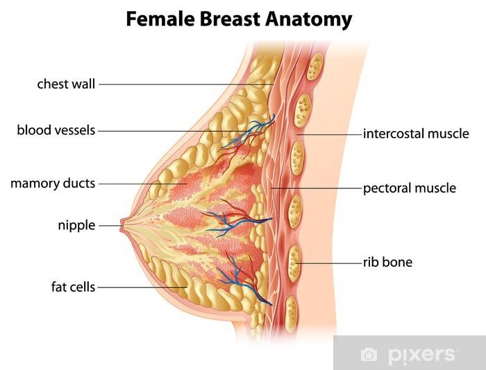bilder von weibliche brust