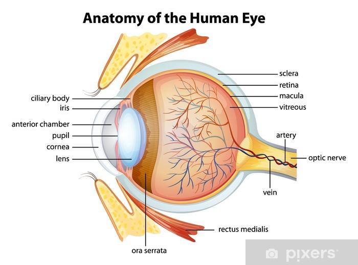 Vinyl Fotobehang Menselijk oog anatomie - Lichaamsdelen