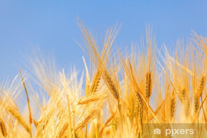 Vinylová fototapeta Sklizeň zralé pšenice - Vinylová fototapeta