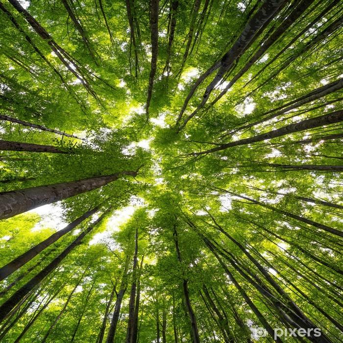 Plakat Duże drzewa bukowego w czasie wiosennych - Przeznaczenia