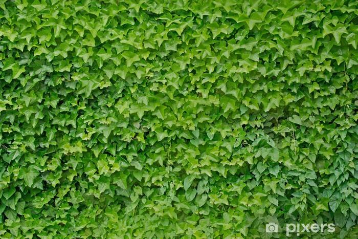 Climbing ivy plant Hedera helix background Pixerstick Sticker - Home and Garden