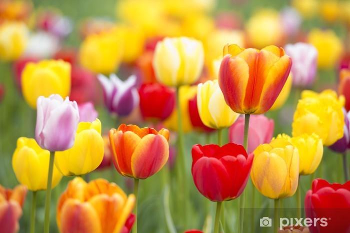 Papier peint vinyle Tulipes colorées - Thèmes
