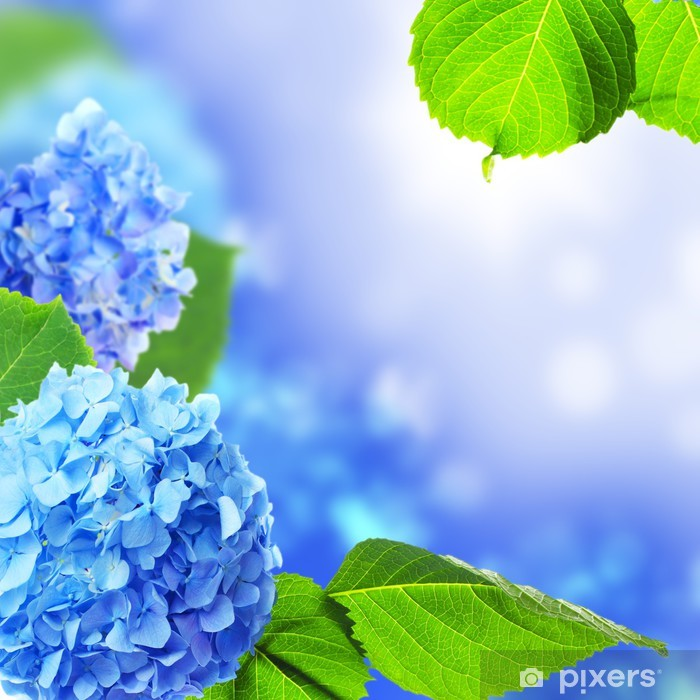Beautiful hydrangea flowers on a blue background. Framed Poster - Flowers