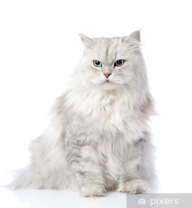 Gray Persian Cat Looking Away Isolated On White Background Wall Mural Pixers We Live To Change