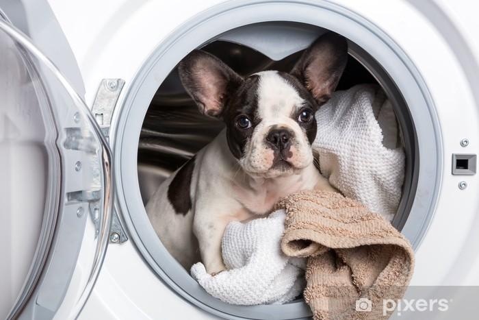 Fototapeta winylowa Buldog francuski puppy wewnątrz pralki - Buldogi francuskie