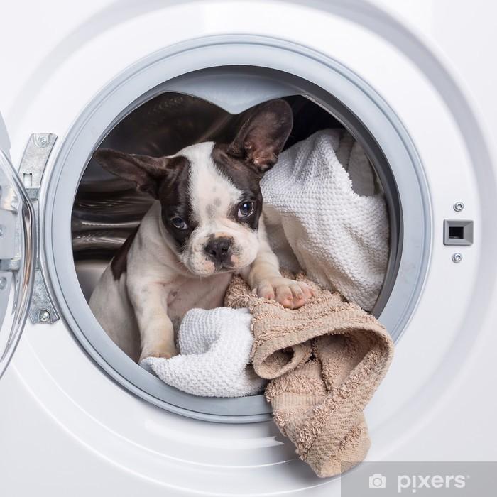 Carta da Parati Lavabile Cucciolo bulldog francese all'interno della lavatrice - Bulldog Francesi