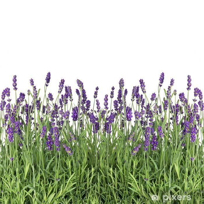 Plakat w ramie Świeże kwiaty lawendy samodzielnie na białym tle - Zioła