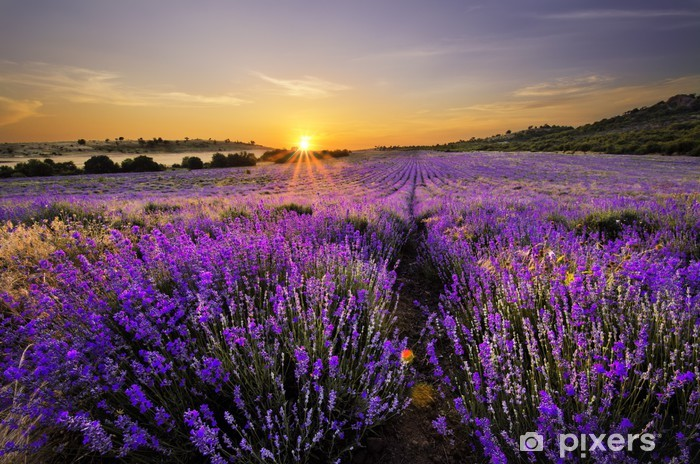 Sunset over a lavender field Pixerstick Sticker - Themes