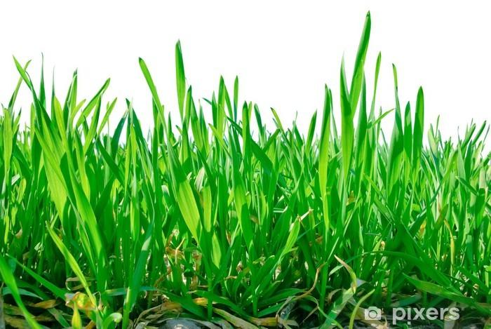 Fototapeta winylowa Łodygi trawy na białym tle. - Pory roku