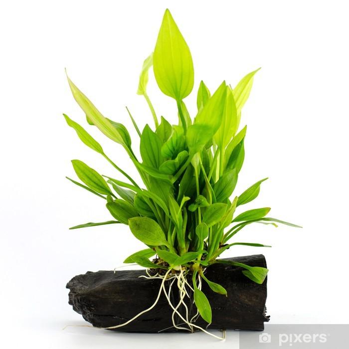 Poster Aquatische plant op een witte achtergrond - Planten