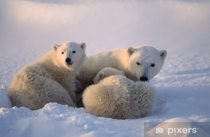 Polar bears,female cub is nursing . Canadian Arctic Pixerstick Sticker - Themes